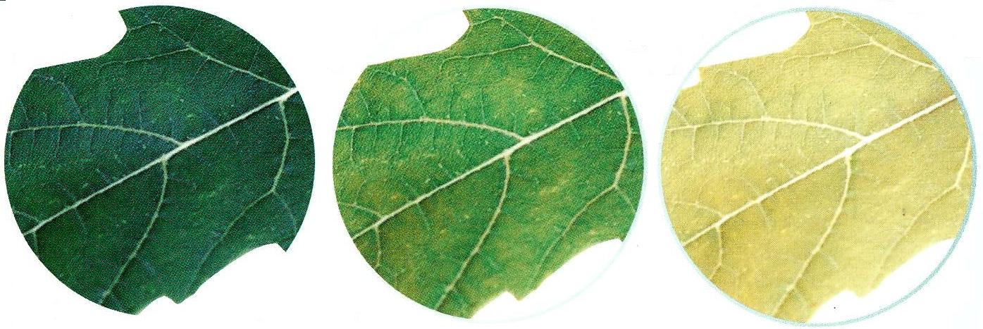 conséquences d'un manque d'azote sur les feuilles