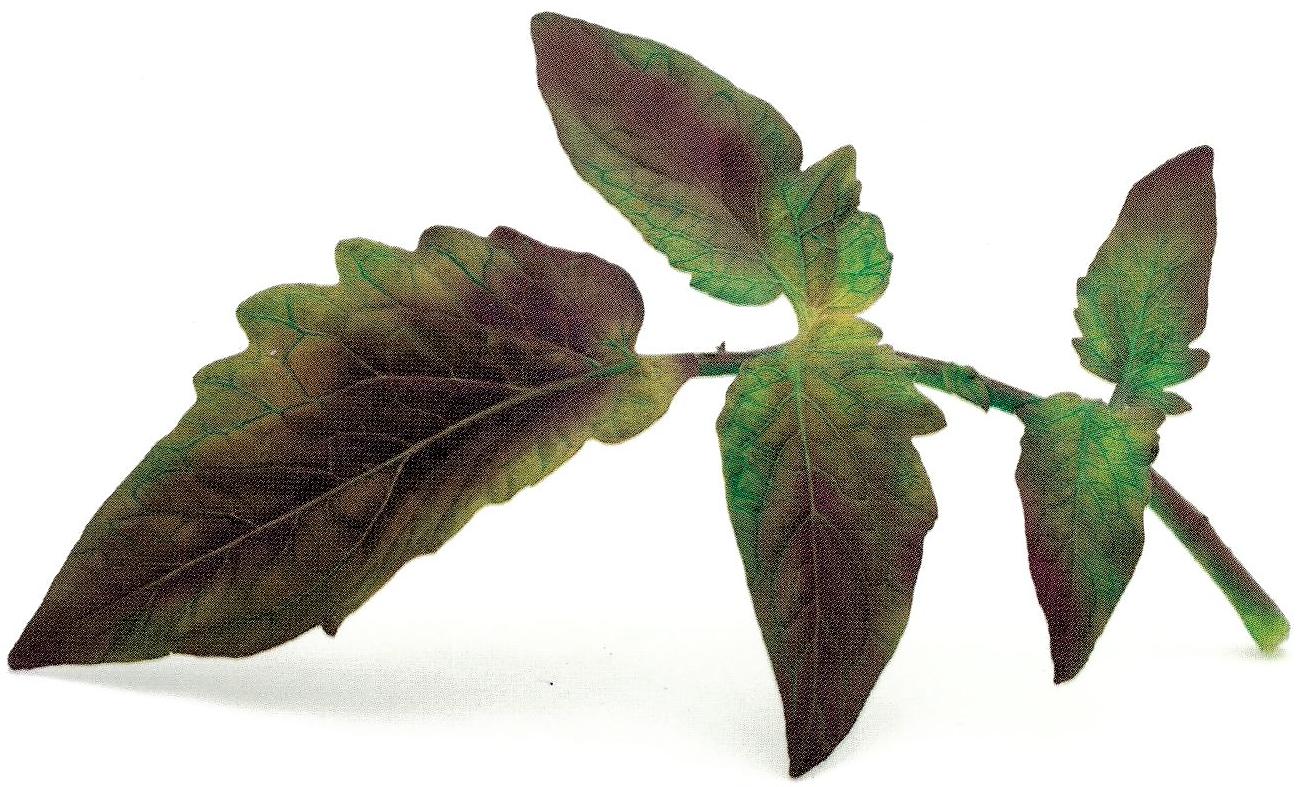 taches et necrose des feuilles en manque de phosphore