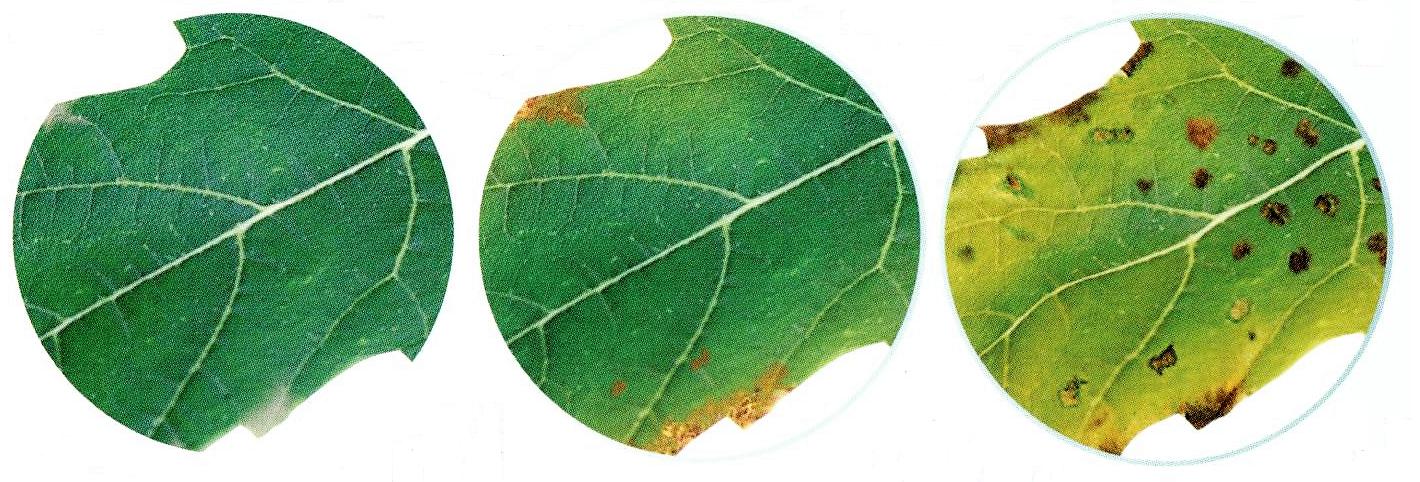 évolution d'une carence en potassium sur les feuilles