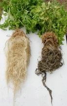des racines et radicelles saines avec SubCulture GHE